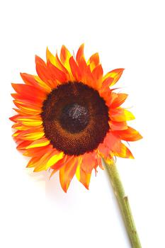 Red Hot Sunflower