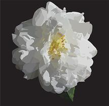 White Camilla by Barbara McKenzie